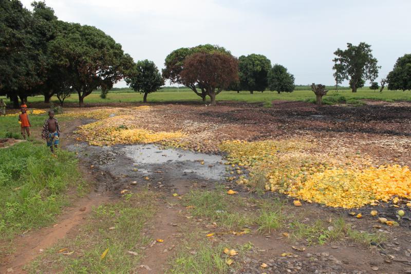 La produzione et tranformation de la mangue en Africa