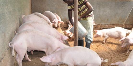 Construction d'une porcherie en Afrique
