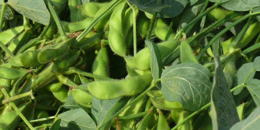 Investir dans la transformation des graines de soja en Afrique